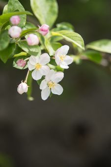 Free Pear Blossoms Royalty Free Stock Photo - 53719275