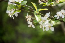 Free Pear Blossoms Stock Photos - 53719363