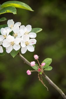Free Pear Blossoms Stock Image - 53719381