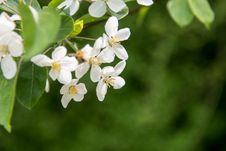 Free Pear Blossoms Royalty Free Stock Images - 53719449