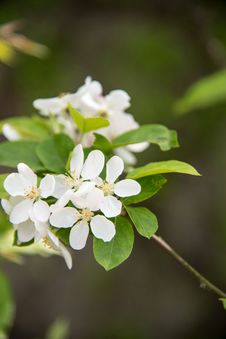 Free Pear Blossoms Royalty Free Stock Images - 53719499