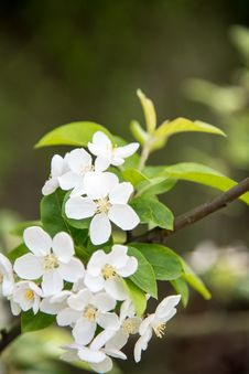Free Pear Blossoms Stock Images - 53719624