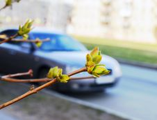 Spring Street. First Leaves Of A Lilac. Stock Images