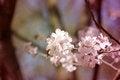 Free Macro Flowers Blooming Cherry Royalty Free Stock Image - 53763996