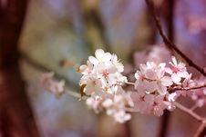 Free Macro Flowers Blooming Cherry Royalty Free Stock Image - 53763996