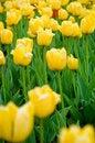 Free Beautiful Yellow Tulips Royalty Free Stock Photography - 5380147