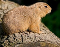 Free Gopher 3 Stock Images - 5380504
