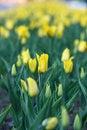 Free Yellow Tulip Royalty Free Stock Photo - 5383145