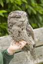 Free Frogmouth Royalty Free Stock Photography - 5384477