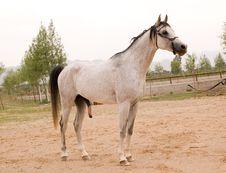 Free Arab Horse Stock Photography - 5380382