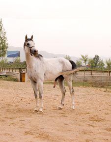 Free Arab Horse Stock Images - 5380384