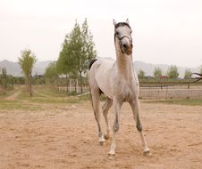 Free Arab Horse Royalty Free Stock Images - 5380389