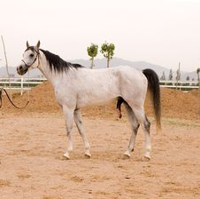 Free Arab Horse Royalty Free Stock Photography - 5380427
