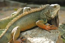 Free Thailand View Of A Lizard Royalty Free Stock Photography - 5380877