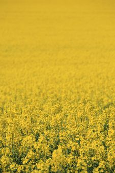 Free Yellow Field Royalty Free Stock Image - 5380896