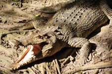 Free Nature; View Of A Crocodille Royalty Free Stock Image - 5380916