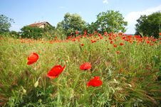 Free Poppy Field Stock Images - 5381034
