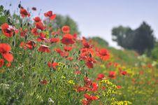Free Poppy Field Stock Photography - 5381112
