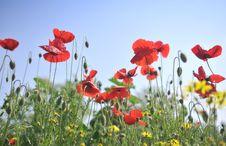Free Poppy Field Stock Photo - 5381120