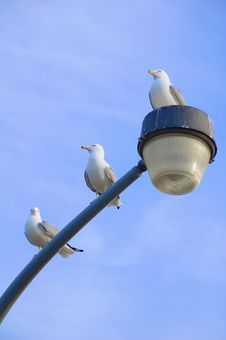 Three Seagulls Royalty Free Stock Photo