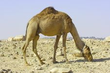 Free Camel In Judean Desert Royalty Free Stock Photos - 5381948