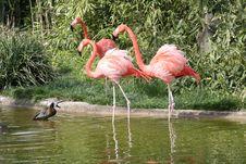 Free Pink Flamingos Royalty Free Stock Images - 5382049
