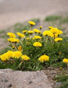 Free Dandelions In The Street Royalty Free Stock Image - 5382516