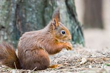 Free Little Red Squirrel Royalty Free Stock Photos - 5382528