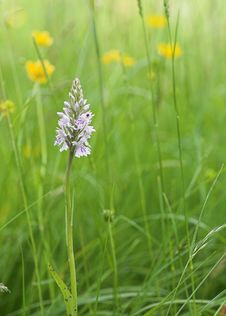 Free Wild Orchid In A Meadow Royalty Free Stock Photo - 5382645