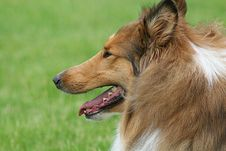 Free Collie Royalty Free Stock Images - 5382749