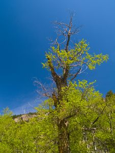 Free Old Tree In Spring Royalty Free Stock Photos - 5383138