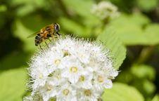 Free Honey Bee Feeding Royalty Free Stock Photography - 5383667