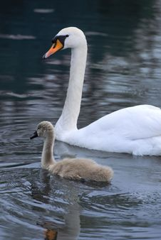 Free Swan And Signet Stock Photos - 5383813
