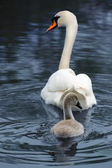 Free Swan And Signet Royalty Free Stock Image - 5383816