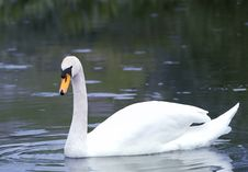 Free Swan Stock Images - 5383824