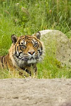 Free Sumatran Tiger Stock Photo - 5384490
