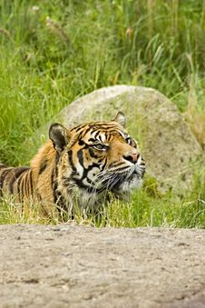 Free Sumatran Tiger Royalty Free Stock Photos - 5384508