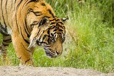 Free Sumatran Tiger Royalty Free Stock Images - 5384519