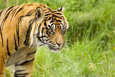 Free Sumatran Tiger Stock Photos - 5384523