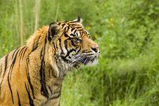 Free Sumatran Tiger Royalty Free Stock Photography - 5384537