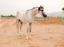 Free Arab Horse Royalty Free Stock Image - 5385626