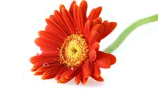 Bright Red Gerbera Daisy With Water Drops Royalty Free Stock Photography
