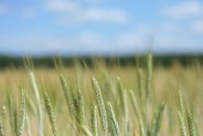 Free Field Of Grain Stock Photography - 5388692
