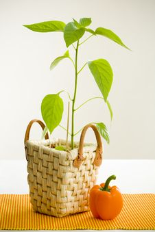 Free Orange Pepper Plant Royalty Free Stock Photography - 5389067