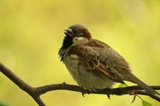Free Sparrow On A Branch Stock Images - 5389164