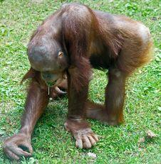 Free Orangutan 9 Stock Image - 5389461