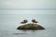 Two Seagulls Sleep On A Stone In The Sea