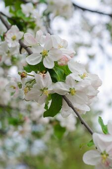 Free Crabapple Tree Blossoms Royalty Free Stock Photography - 53839277