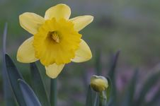 Flower And Bud Of Yellow Narcissus Flower Macro Stock Photos