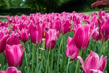 Free Tulips Royalty Free Stock Photo - 53841415
